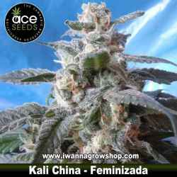 Kali China – Feminizada – Ace Seeds