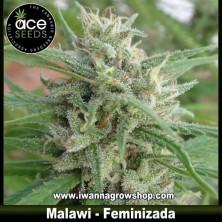 Malawi – Feminizada – Ace Seeds