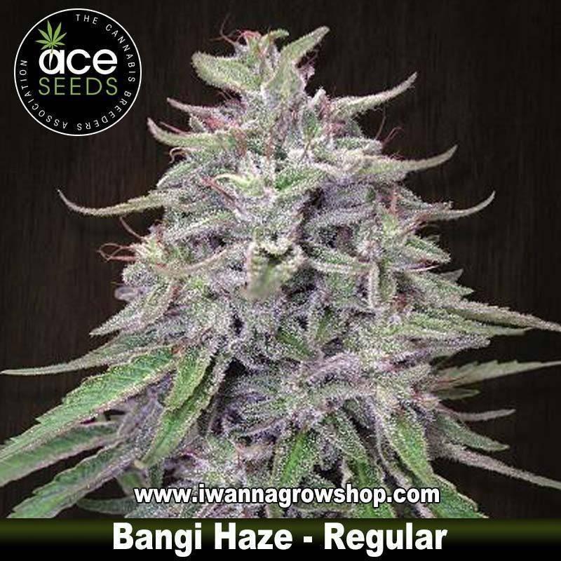 Bangi Haze – Ace Seeds – Regular