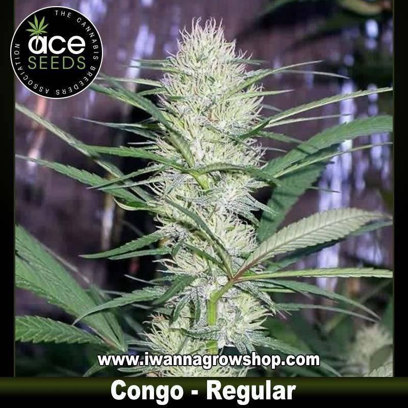 Congo – Ace Seeds – Regular