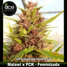 Malawi x PCK – Feminizada – Ace Seeds