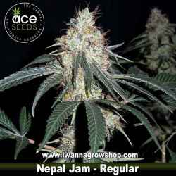 Nepal Jam – Ace Seeds – Regular