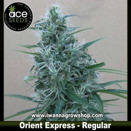 Orient Express – Ace Seeds – Regular
