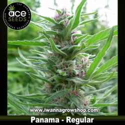 Panama – Ace Seeds – Regular