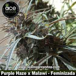 Purple Haze x Malawi – Feminizada – Ace Seeds