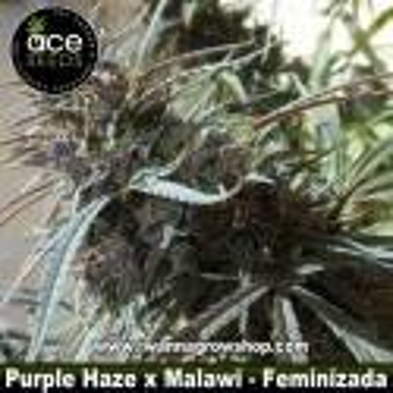 Purple Haze x Malawi