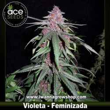 Violeta – Feminizada – Ace Seeds