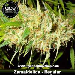 Zamaldelica – Regular – Ace Seeds