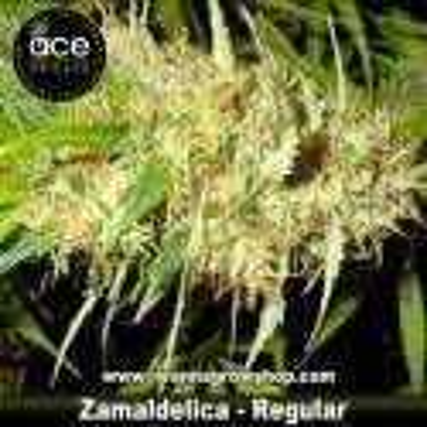 Zamaldelica – Regular – Ace Seeds