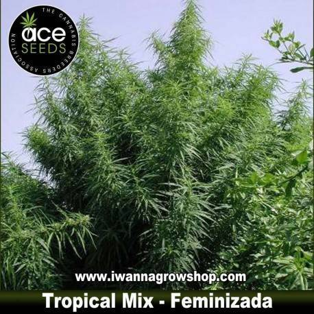 Tropical Mix – Feminizada – Ace Seeds