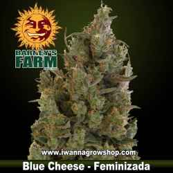 Blue Cheese - Feminizada - Barney's Farm