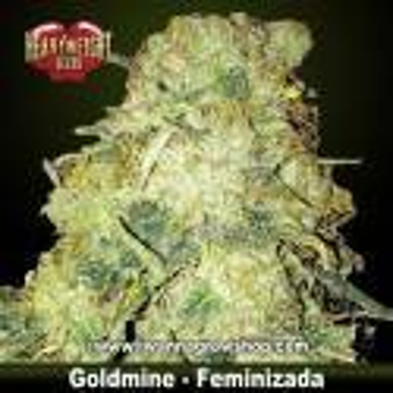 Goldmine – Feminizada – Heavyweight Seeds