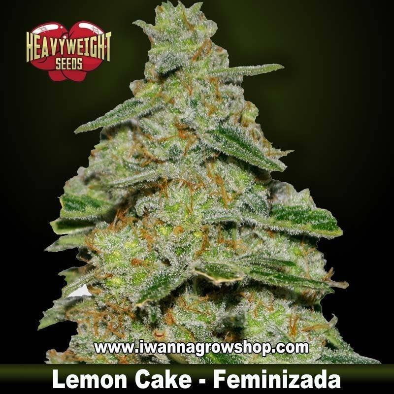 Lemon Cake – Feminizada – Heavyweight Seeds