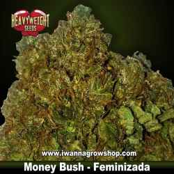 Money Bush – Feminizada – Heavyweight Seeds