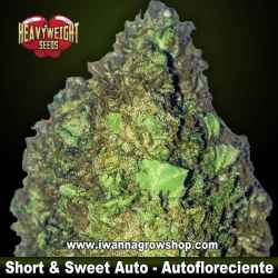Short & Sweet Auto – Autofloreciente – Heavyweight Seeds