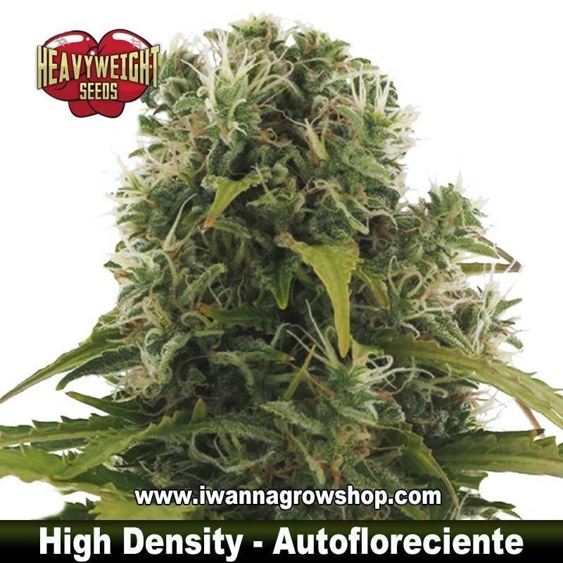 High Density Auto – Autofloreciente – Heavyweight Seeds