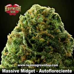 Massive Midget Auto – Autofloreciente – Heavyweight Seeds