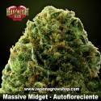 Massive Midget Auto – Autofloreciente – Heavyweight Seeds