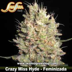 Crazy Miss Hyde – Feminizada – Samsara Seeds