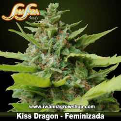 Kiss Dragon – Feminizada – Samsara Seeds