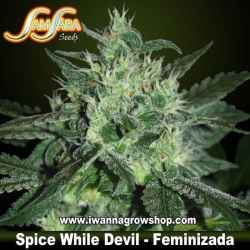 Spicy White Devil – Feminizada – Samsara Seeds