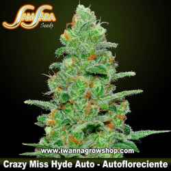 Crazy Miss Hyde Auto – Autofloreciente – Samsara Seeds