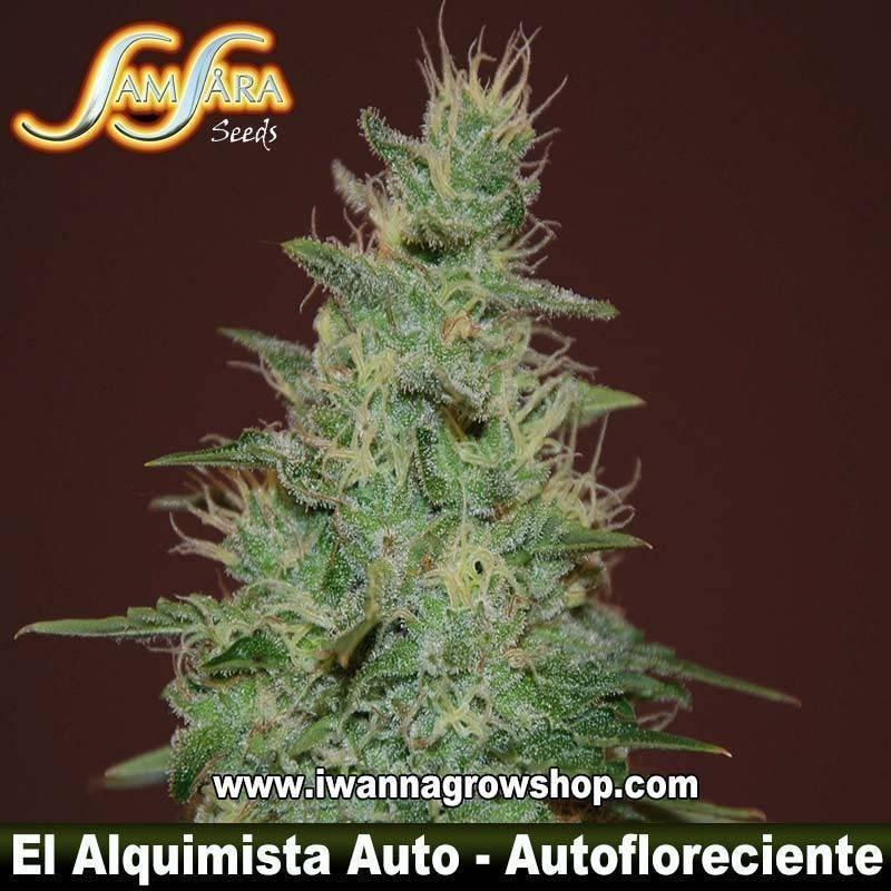 Alquimista Auto – Feminizada – Samsara Seeds