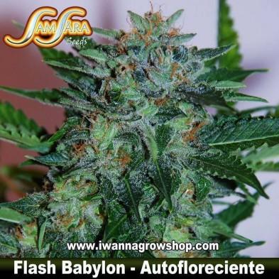 Flash Babylon – Autofloreciente – Samsara Seeds