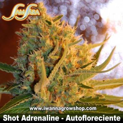 Shot Adrenaline – Autofloreciente – Samsara Seeds