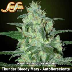 Thunder Bloody Mary – Autofloreciente – Samsara Seeds