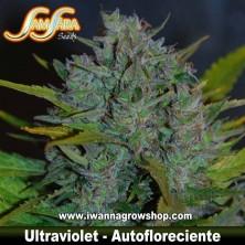 Ultraviolet – Autofloreciente – Samsara Seeds