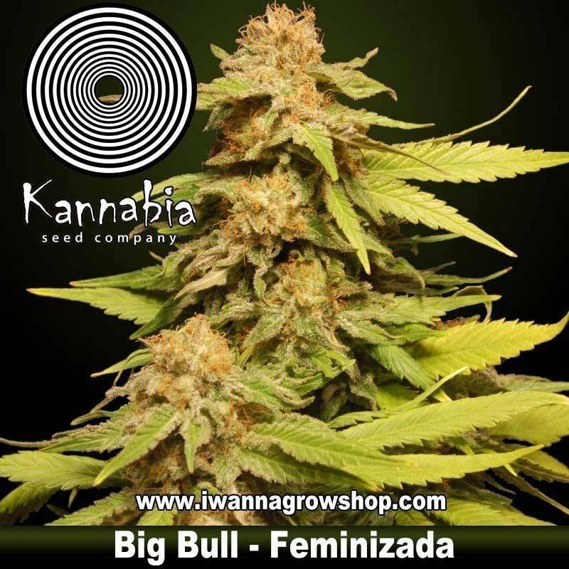 KANNABIA SPECIAL de KANNABIA – semilla feminizada (INDICA)