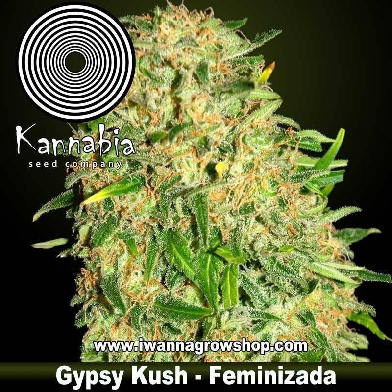 FARAONA de KANNABIA – semilla feminizada (INDICA)