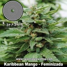 Karibbean Mango - Kannabia - Feminizada