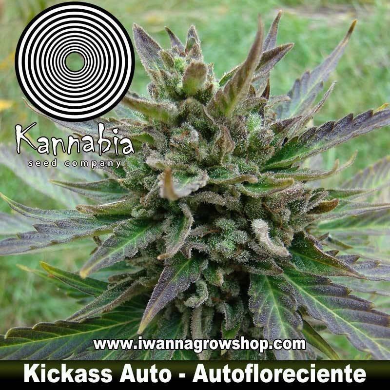 B.LEE AUTO de KANNABIA – semilla autofloreciente (INDICA)