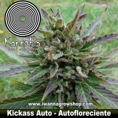 Kickass Auto - Kannabia - Autofloreciente