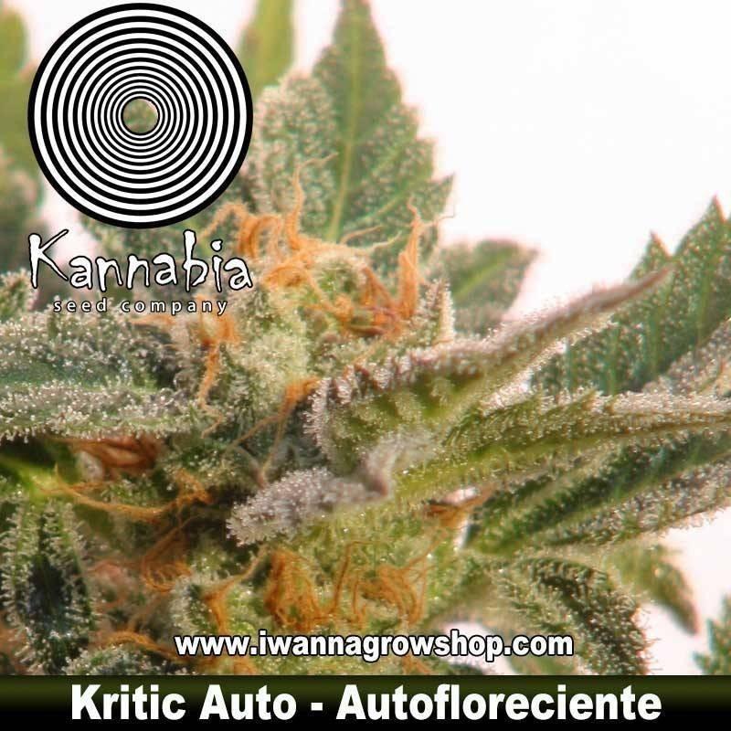 KRITIC 70 AUTO de KANNABIA – semilla autofloreciente