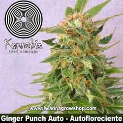 Ginger Punch Auto – Autofloreciente