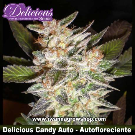 Cheese Candy Auto