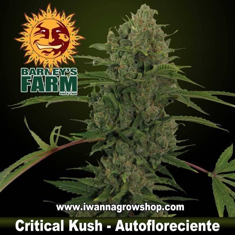 Critical Kush Auto – Autofloreciente – Barney´s Farm