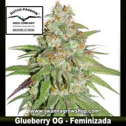 Glueberry OG – Feminizada – Dutch Passion