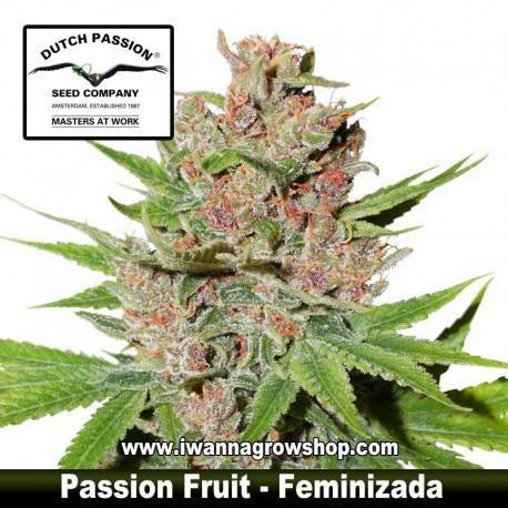 Passion Fruit – Feminizada – Dutch Passion