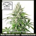 Auto Cinderella Jack – Autofloreciente – Dutch Passion