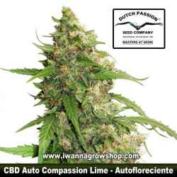 CBD Auto Compassion Lime – Autofloreciente – Dutch Passion