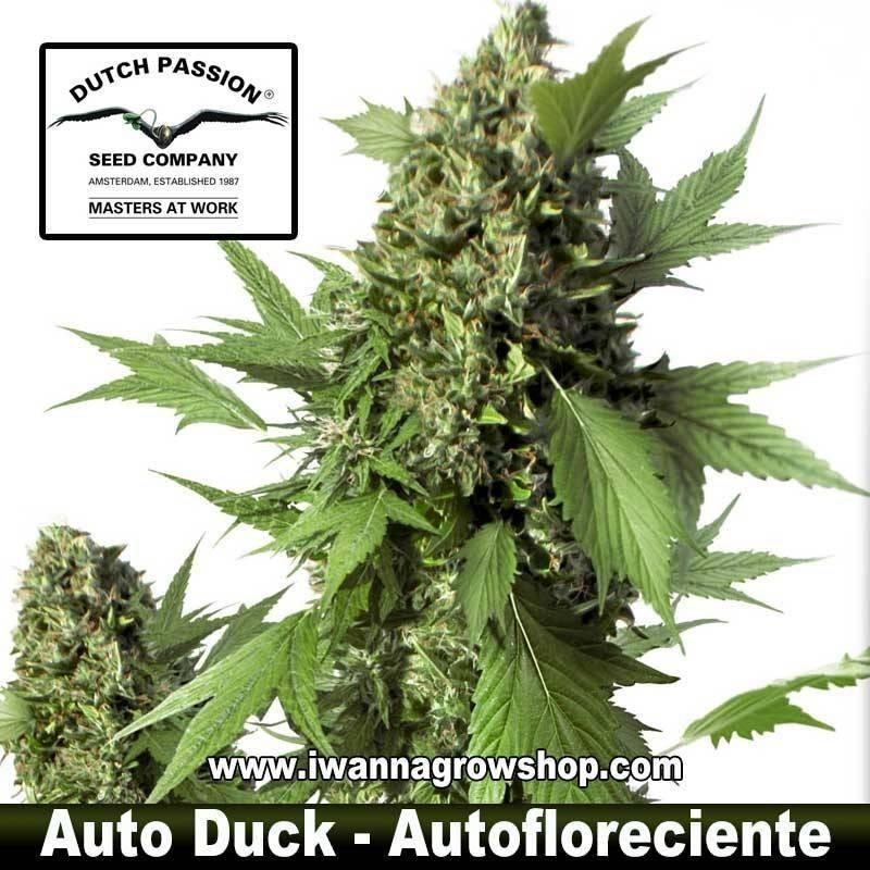 Auto Duck – Autofloreciente – Dutch Passion
