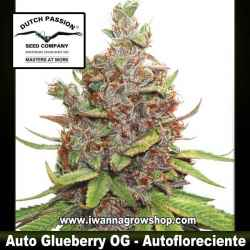 Auto Glueberry OG – Autofloreciente – Dutch Passion