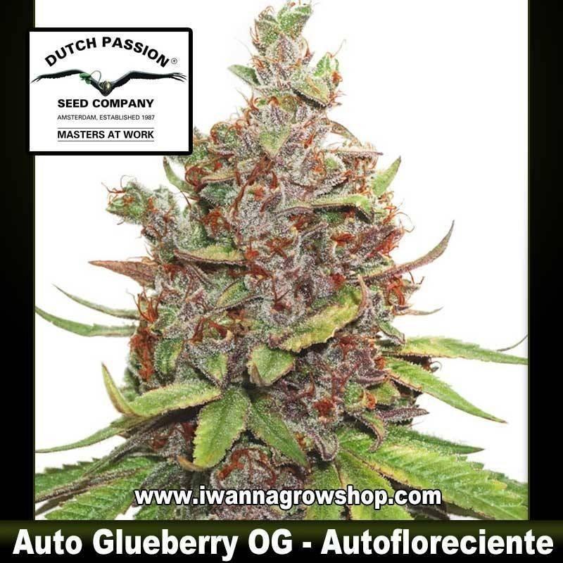 Auto Glueberry OG – Autofloreciente – Dutch Passion