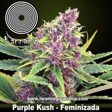 Purple Kush – Feminizada