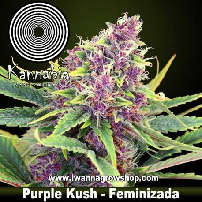 Purple Kush