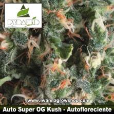 Auto Super OG Kush – Autofloreciente – Pyramid Seeds
